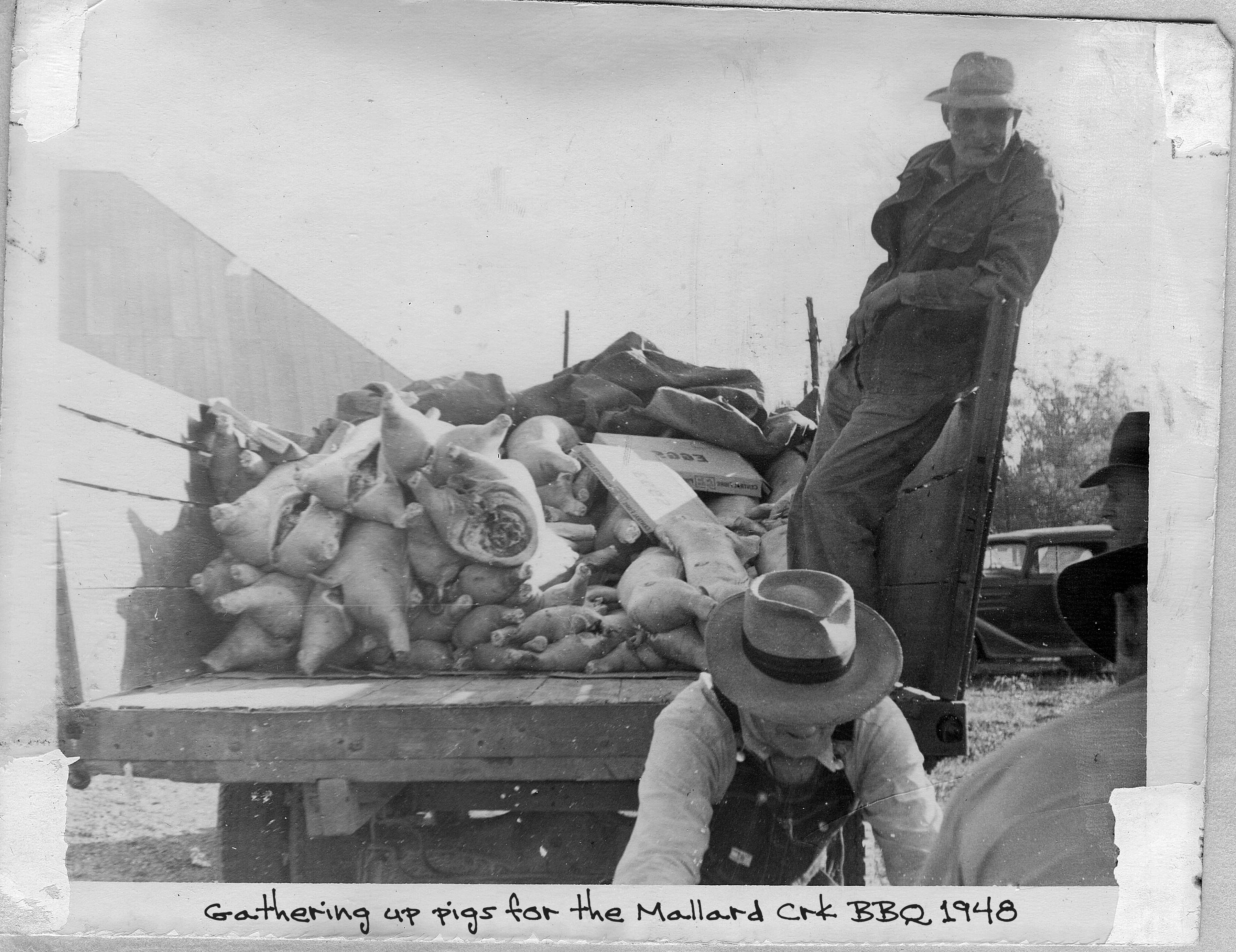 Gathering Pigs in SWC Truck 1948